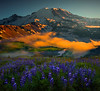 Lupine Sunset Looking Down Into Valley Of Mt Rainier