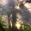 Bursting Glow Of Light - Redwoods, California