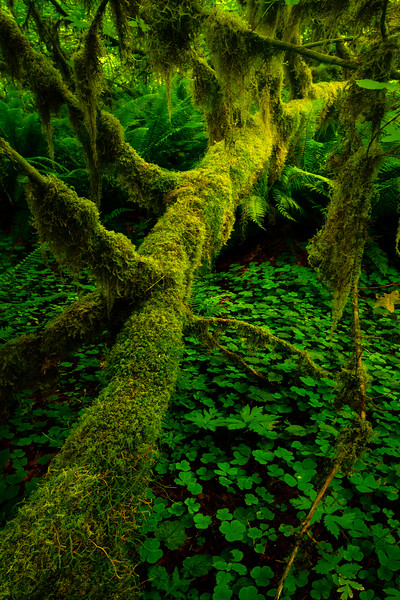 Fallen Leading Lines - Hoh Rain Forest, Olympic National Park, WA
