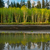 First Light Reflections Of Alders Along The Hoh River How River, Olympic National Park, WA