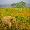 Elephant Out In Early Morning Field Kaziranga National Park, Assam, North-Eastern India