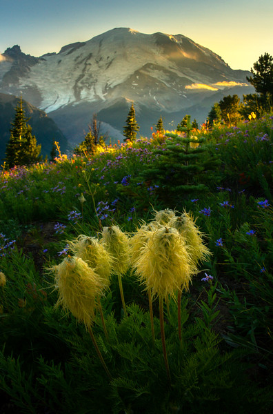 Pasque Delight From The Silver Trail - Silver Forest Trail, Mt Rainier NP, WA