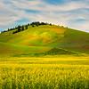 Canola Running Up The Hill - Ladow Butte Barn, Garfield, Palouse, WA