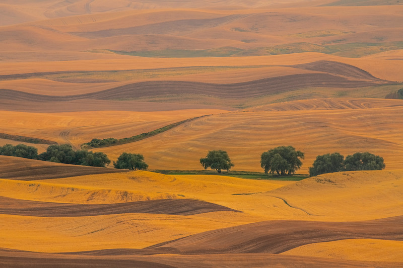 The Lineup Of Trees Amongst The Wheat - Palouse, Eastern Washington