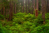 Sol Duc Forest In Spring - Sol Duc Falls, Sol Duc Valley, Olympic National Park,, Washington