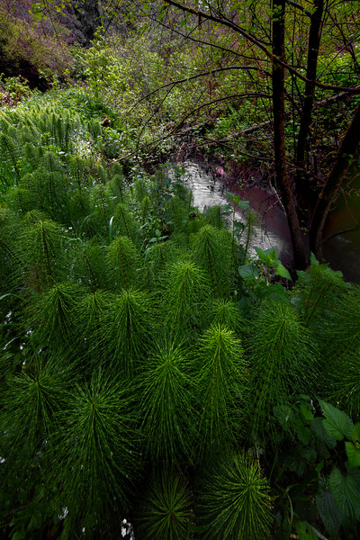 Forest Of Horsetail Ferns - Russian Gulch State Park, Mendocino, California