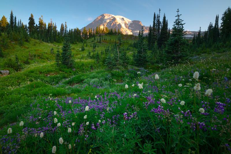 Lupine Meadow Beneath Rainier - Dead Horse Creek Trail, Mt Rainier NP, WA