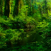 Glimmers Of Reflected Light - Hoh Rainforest, Olympic National Park, WA