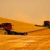 Hard At Work In The Wheat - Palouse, Eastern Washington