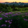 Purple Aster Twilight Over The Tatoosh - Dead Horse Creek Trail, Mt Rainier NP, WA