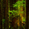 Spotlight On The Baby Tree - Black Forest, Olympic National Park, WA
