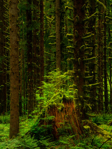 Standing Green Amongst The Giants - Black Forest, Olympic National Park, WA