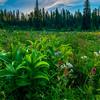 Summer Meadows At Peak - Dead Horse Creek Trail, Mt Rainier NP, WA