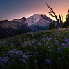 Twilight Cast Over The Asters And Rainier - Silver Forest Trail, Mt Rainier NP, WA