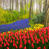 Rivers Of Blue And Red Flowers