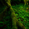 Falling Moss On The Ground Floor - Hoh Rain Forest, Olympic National Park, WA
