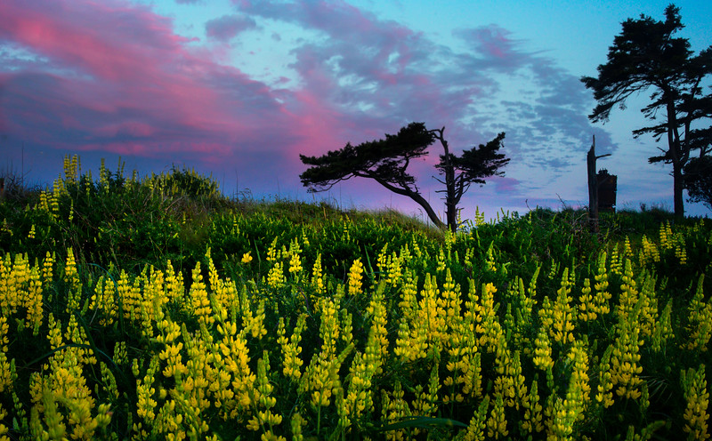 Lupine Field and Tree Shadow - Point Wilson Lighthouse, Fort Worden State Park, Port Townsend, WA