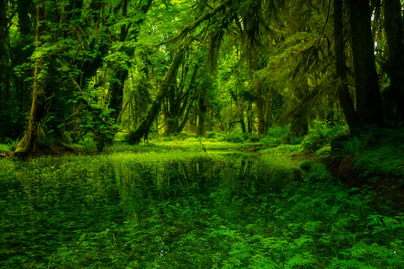 Green Canopies Overhanging Pond - Lake Quinault Region, Olympic National Park, WA