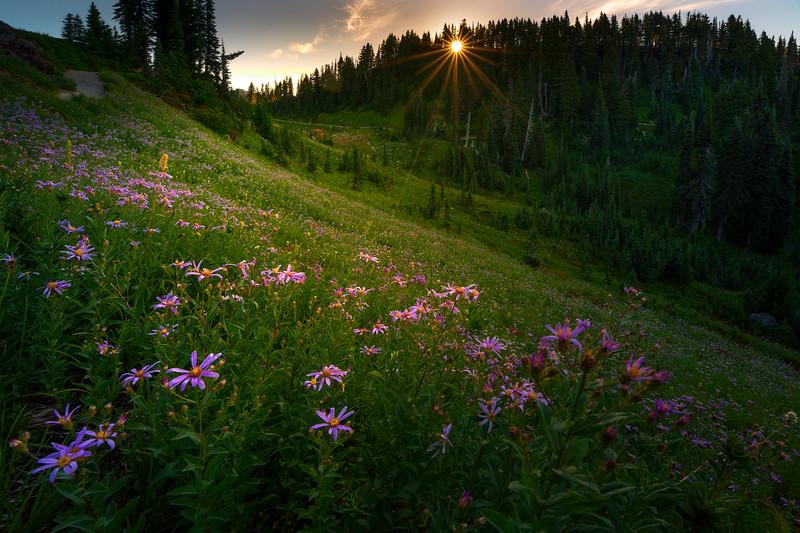 Purple Aster Meadow Sunburst - Dead Horse Creek Trail, Mt Rainier NP, WA