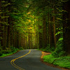 Roadway Through The Black Forest - Black Forest, Olympic National Park, WA