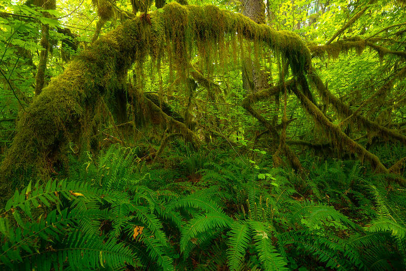 Under The Forest Canopy - Hoh Rainforest, Olympic National Park, WA