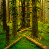Crossing Paths In The Black Forest - Black Forest, Olympic National Park, WA