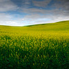 Pano Of The Canola Fields - The Palouse Region, Washington