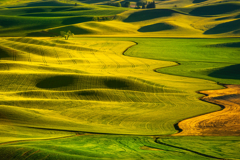 SCurve Lone Tree From Top Of Steptoe Butte - Steptoe Butte State Park, Palouse, WA