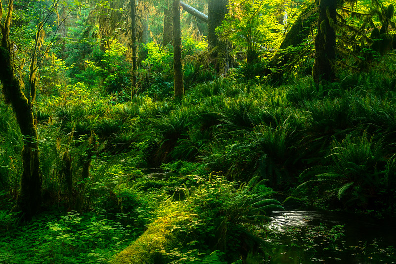 Morning Mist Lifting Off The Forest Floor - Hoh Rainforest, Olympic National Park, WA