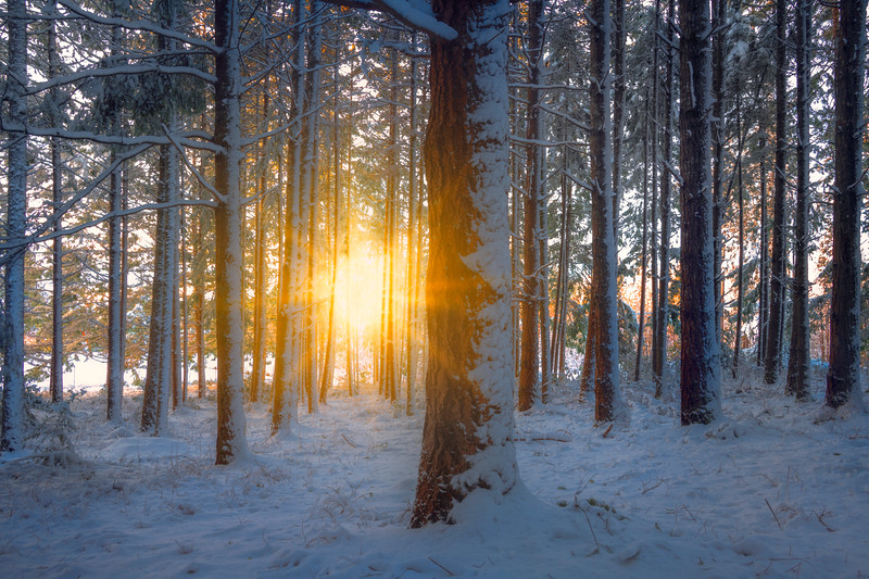 Sunburst Through The Forest
