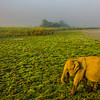 Early Morning Walk For Elephant Crossing Kaziranga National Park, Assam, North-Eastern India
