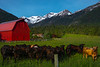 Local Wildlife In Front Of Red Barn Wallowa County, Oregon