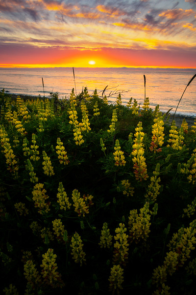 Yellow Lupine By The Ocean At Sunset - Point Wilson Lighthouse, Fort Worden State Park, Port Townsend, WA