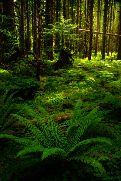 The Spread Of Warmth Through Black Forest - Black Forest, Olympic National Park, WA