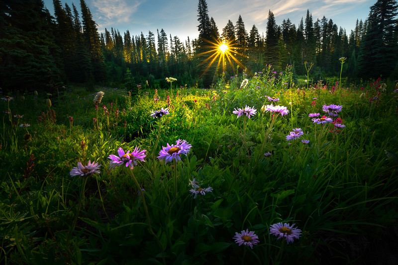 Wildflower Sunburst In Lower Meadow - Dead Horse Creek Trail, Mt Rainier NP, WA