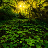 Cascading Light On Forest Floor - Hoh Rainforest, Olympic National Park, WA
