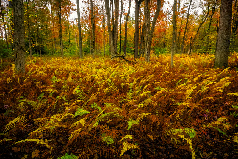 Inside Of The Fern Carpets Of The Allegheny Forest - Allegheny Mountain Range, Pennsylvania