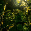 Glowing Moss On The Hoh Forest - Hoh Rainforest, Olympic National Park, WA