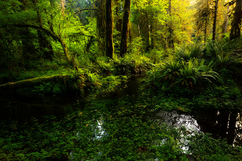 Light Coming Down The Forest Pools - Hoh Rainforest, Olympic National Park, WA
