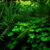 Deep Inside The Hoh - Hoh Rainforest, Olympic National Park, WA