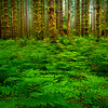 Forest Ferns Leading Into Forest - Black Forest, Olympic National Park, WA