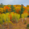 A Grove Of Autumn Color High On The Hill - Vermont