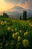 Western Anemone Wildflowers And Sunset Pinnacle Peak Area, Mount Rainier National Park, WA