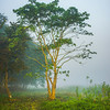 The Solidarity Tree Kaziranga National Park, Assam, North-Eastern India