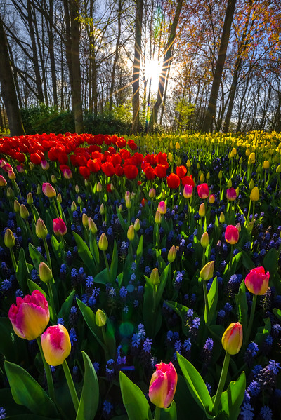 Last Streaking Light Through Forest On Tulips