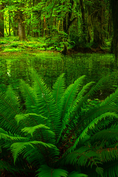 Overhanging Green Canopy Reflections - Lake Quinault Region, Olympic National Park, WA