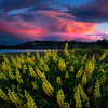 Twilight Pinks Above The Lupine Fields - Point Wilson Lighthouse, Fort Worden State Park, WA