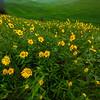 Fields Of Balsamroot Flowers - The Palouse Region, Washington
