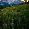 Purple Delight Heaven - Silver Forest Trail, Mt Rainier NP, WA