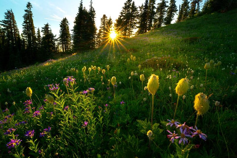 Showcase Sunlight On Meadow Flowers - Dead Horse Creek Trail, Mt Rainier NP, WA